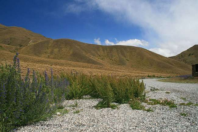 Tussock and Echium - Patterson's Curse, in the top of Lindis Pass.