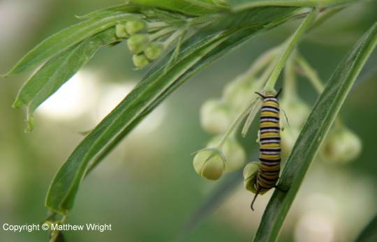 A photo I took of a Monarch caterpillar on a swan plant.