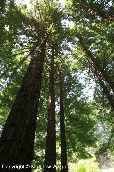 Towering Redwoods in Hawke's Bay, New Zealand.