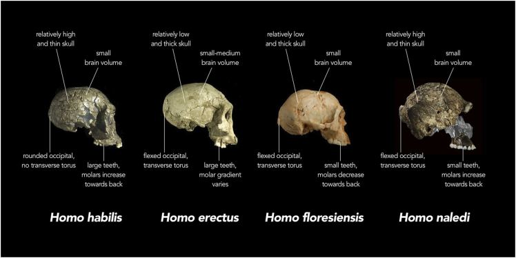 Skull comparison of early genus Homo specimens. Chris StringChris Stringer, Natural History Museum, United Kingdom, Creative Commons 4.0 license, via Wikimedia.