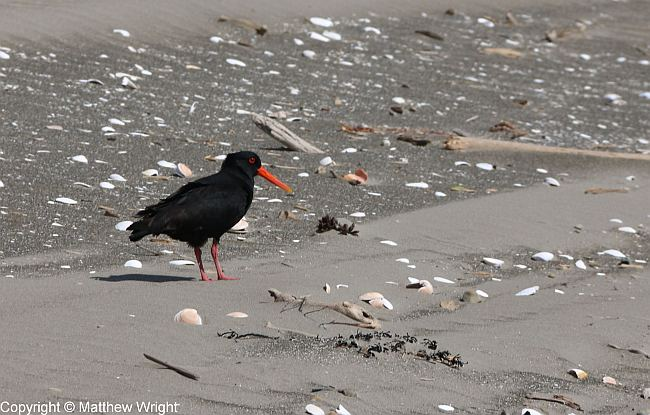 Oystercatcher on Paraparaumu beach. Copyright (c) Matthew Wright.