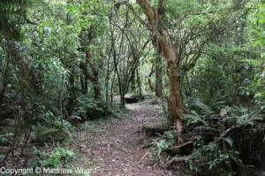 Podocarp forest near Puketitiri, inland Hawke's Bay, New Zealand