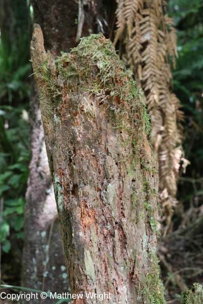 Moss-covered tree trunk, in Ball's Clearing, near Puketitiri.
