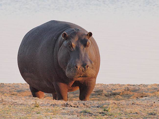 Hippo_at_dawn