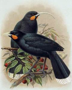 Male (bottom) and female (top) huia from W. L. Buller, 'A History of the Birds of New Zealand', 1888. Public domain.